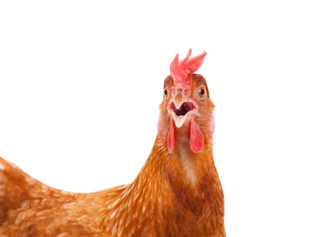Est-il plus rentable d'acheter des boites d'œufs ou d'adopter une poule ?