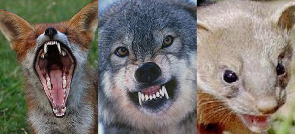 Vaut-il mieux être un loup, un renard ou une belette ?